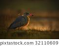 Whistling Heron, Syrigma sibilatrix, bird 32110609