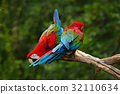Pair of big parrot Red-and-green Macaw, Ara 32110634