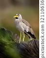 African bird Wattled Lapwing, Vanellus senegallus 32110636
