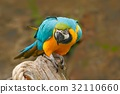 Parrot, blue-and-yellow macaw, Ara ararauna 32110660