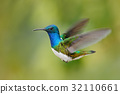 Flying blue and white hummingbird 32110661