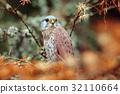 Common Kestrel, Falco tinnunculus, little birds 32110664