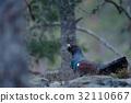 Dark bird Western Capercaillie, Tetrao urogallus 32110667