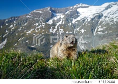 Cute animal Marmot, Marmota marmota 32110668