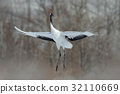 Flying bird Red-crowned crane, Grus japonensis 32110669