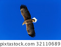 white-tailed eagle, Haliaeetus albicilla 32110689