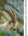 Detail portrait of antler Alpine Ibex, Capra ibex 32110690