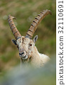 wildlife wild ibex 32110691