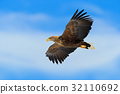 Flying bird of prey, White-tailed Eagle 32110692