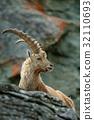 Portrait of antler Alpine Ibex, Capra ibex 32110693