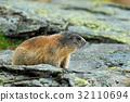 Cute animal Marmot, Marmota marmota 32110694
