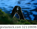 Fighting animals Marmot, Marmota marmota 32110696