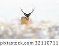 Hokkaido sika deer, Cervus nippon yesoensis 32110711
