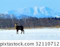 Hokkaido sika deer, Cervus nippon yesoensis 32110712