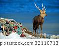 Hokkaido sika deer, Cervus nippon yesoensis 32110713