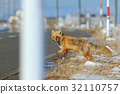 Red fox, Vulpes vulpes, crossing the road 32110757