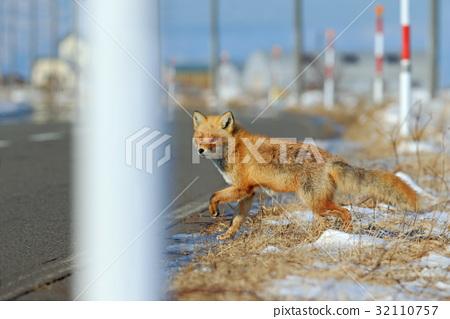 Red fox, Vulpes vulpes, crossing the road 32110757
