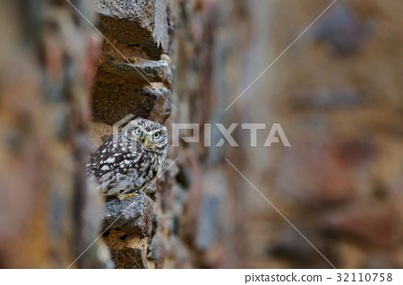 Little Owl, Athene noctua, bird in the nature old 32110758