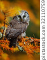 Boreal owl in the orange larch autumn forest 32110759