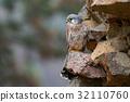 Common Kestrel, Falco tinnunculus, little bird 32110760