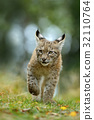 Cat Eurasian lynx in the green grass in forest 32110764