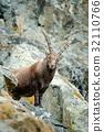Portrait of antler Alpine Ibex, Capra ibex 32110766