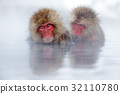 Monkey Japanese macaque, Macaca fuscata 32110780