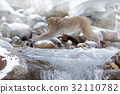 Monkey Japanese macaque, jumping winter river 32110782