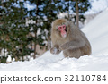 Monkey Japanese macaque, Japan 32110784