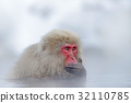 Monkey Japanese macaque, Macaca fuscata 32110785