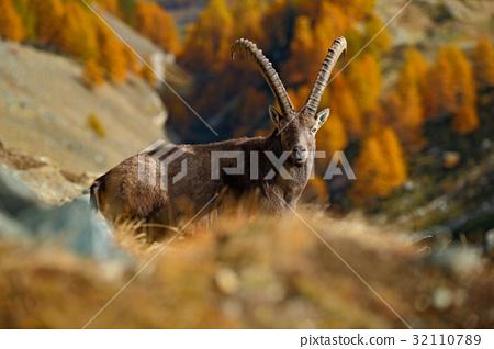 Alpine Ibex, autumn orange larch tree 32110789