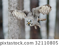 Great Grey Owl, Strix nebulosa, flight in forest 32110805
