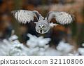 Flying Great Grey Owl, Strix nebulosa 32110806