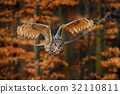 Flying Eurasian Eagle Owl, Bubo bubo 32110811