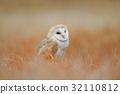Barn Owl in light grass 32110812