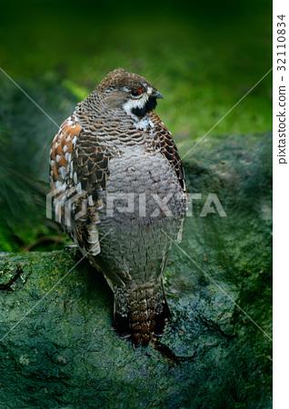 Hazel Grouse, Bonasa bonasia, forest bird sitting 32110834