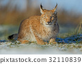 animal, bobcat, wildcat 32110839