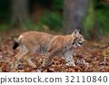 wildcat, lynx, bobcat 32110840