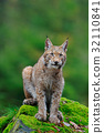 Sitting Eurasian wild cat Lynx on green moss stone 32110841