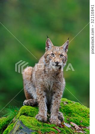 Sitting Eurasian wild cat Lynx on green moss stone 32110841