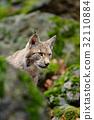 animal, bobcat, wildcat 32110884