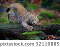 animal, bobcat, wildcat 32110885