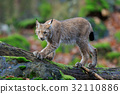 Walking wild cat Eurasian Lynx in green forest 32110886