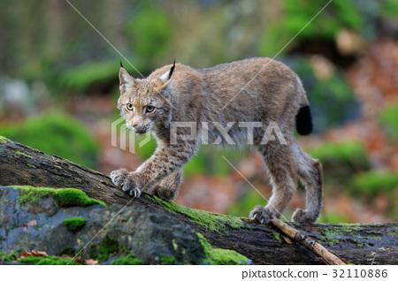 Walking wild cat Eurasian Lynx in green forest 32110886