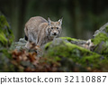 Walking eurasian wild cat Lynx 32110887