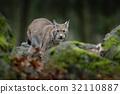 animal, bobcat, wildcat 32110887