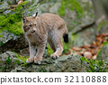 Walking eurasian wild cat Lynx 32110888