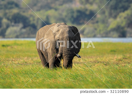 African Elephant in the green grass, Chobe 32110890
