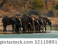 A herd of African elephants drinking 32110891