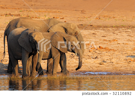 African elephants drinking at a waterhole lifting 32110892